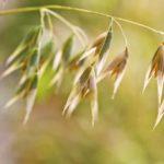 Avena Sativa (овес посевной) в гомеопатии