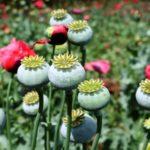 Опиум в гомеопатии: показания к применению